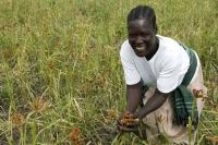 Harvesting in Africa