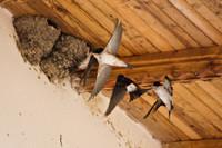 Zwaluwen bij hun nest onder de dakrand