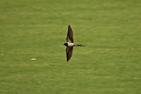 Vliegende zwaluw boven een weiland