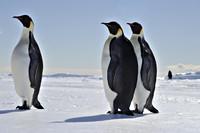 Pinguins in Antartica