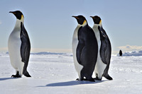 Pinguins in Antartica
